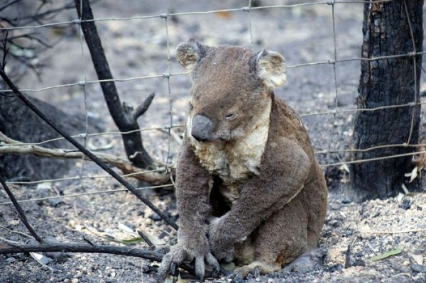 Koala caught in the Victorian bushfire (image by M Fillinger)