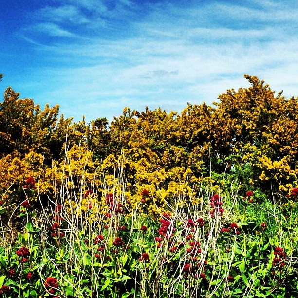 When I round the bend and see this huge gorse bush I know I am truly home (image by Sabi Style)